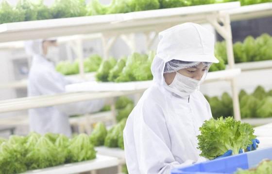 生菜种植不用土,365天生产,几个人管理,未来农业4.0