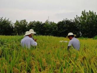 2018年种子市场抽查水稻品种纯度小区种植鉴定完成