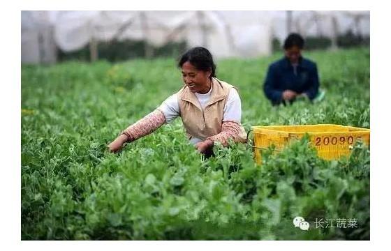十一月蔬菜种植指南