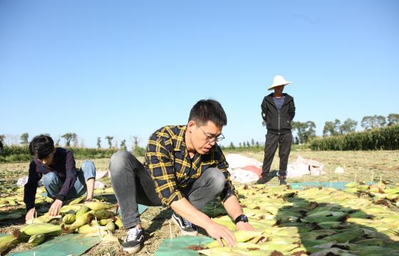 """""""中国鲜食玉米之乡""""借力阿里数字化技术打造黄金产业"""